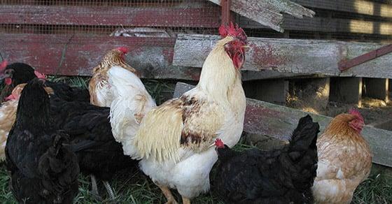 Chicken Manure Granulation